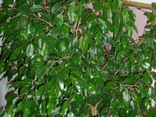 Фикус Бенджамина: уход, причины опадания листьев