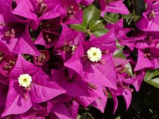 Бугенвиллия: уход и выращивание в домашних условиях
