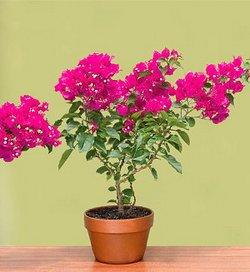 Бугенвиллия цветок уход в домашних условиях