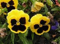 Цветы-двулетники в вашем саду