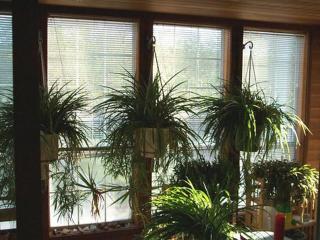 Не дайте домашним цветам зачахнуть зимой - правильно ухаживайте за растениями в холодное время года.