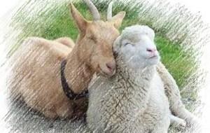 Действительно, что выбрать? Ведь козы и овцы, оказывается, так противоречивы. Хороший вопрос!