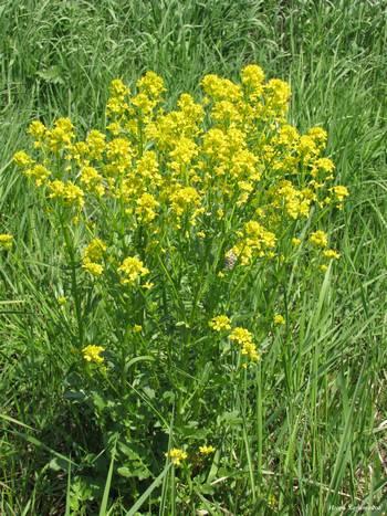 Лекарственное растение с желтыми цветами