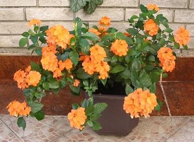 Цветок кроссандра - уход и 78