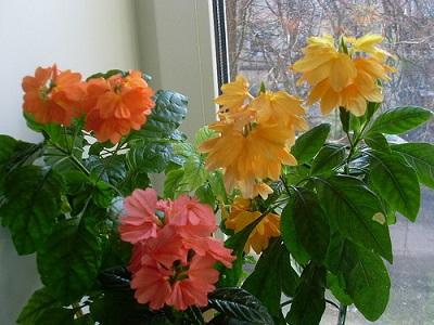 Цветок кроссандра - уход и 25