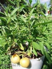 Болезни растений в теплицах и парниках: причины болезней растений предупреждение и лечение (сад огород)