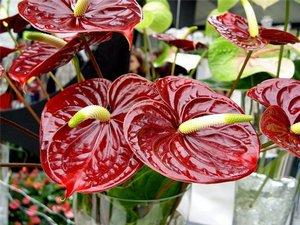 Как вырастить антуриум и правильно ухаживать за растением?
