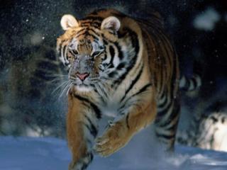 Что нас ждет в Новом 2010 году Тигра (гороскоп по знакам Зодиака). Продолжение